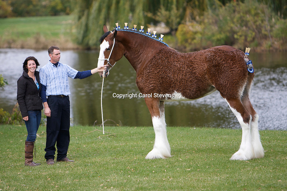 World Clydesdale Show 2011   Madison, Wisconsin  USA
