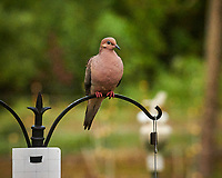 Mourning Dove. Image taken with a Leica SL2 camera and 90-280 mm lens