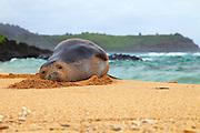 Hawaiian Monk Seal on the Beach in Kauai