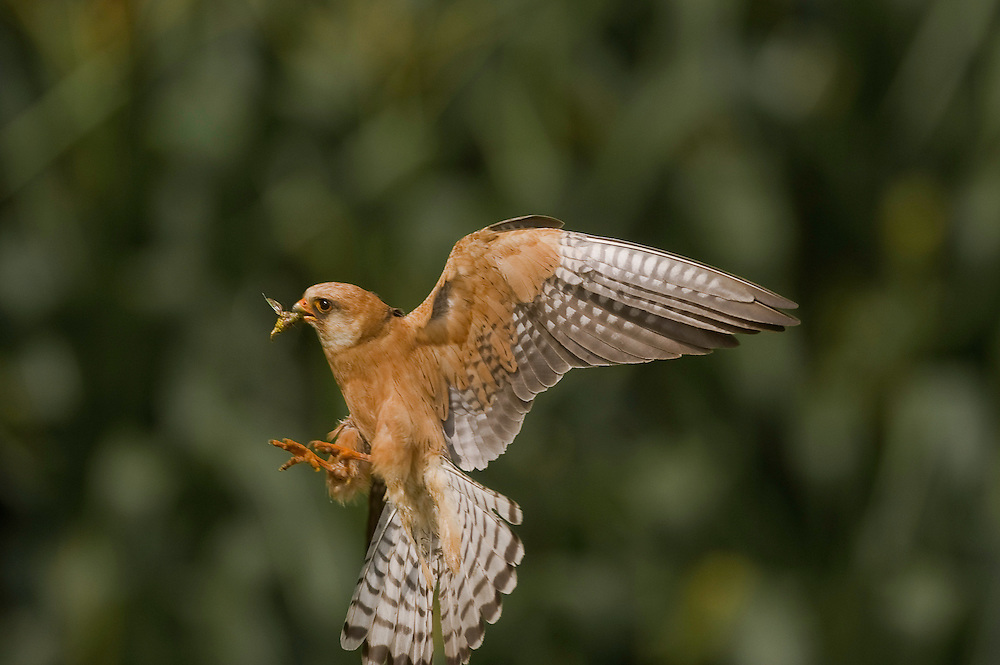The Red-footed Falcon (Falco vespertinus) feeding its nestlings in Hortobagy National Park, Hungary