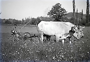 farmer working with two oxen pulling an early agricultural grass mowing machine