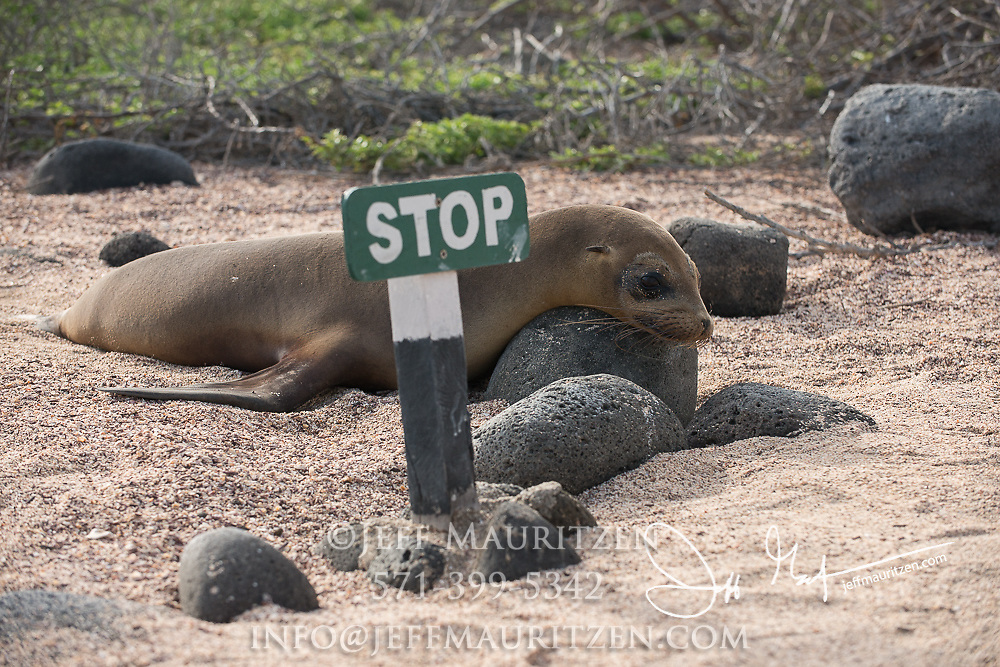 Galapagos sea lion rests on a rock next to a sign that says stop, prevening tourists to the Galapagos islands from walking off the trail.