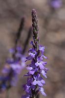 Slender Vervain (Verbena halei), Big Bend National Park, Texas