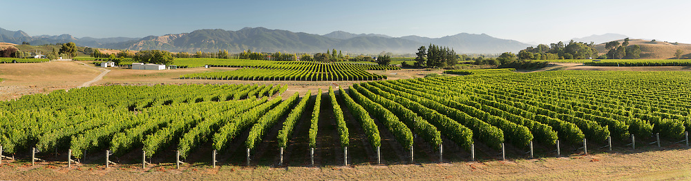 Rows of grapevines in fine weather against the backdrop of the Richmond ranges. Late summer, Brancott Estate.