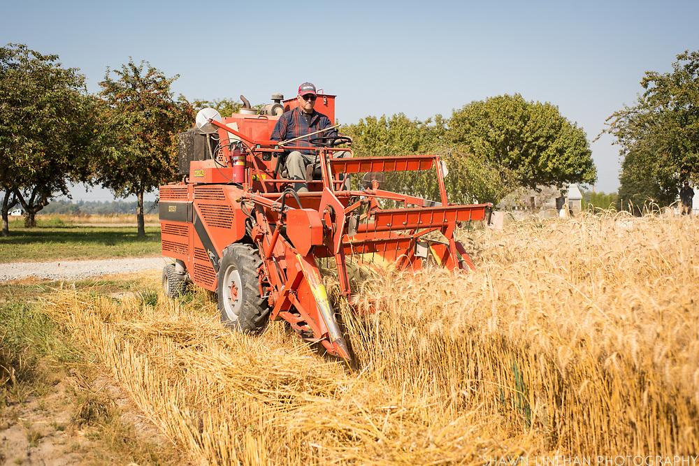 Steve Lyons harvesting wheat at WSU Research field in Mt. Vernon, WA.