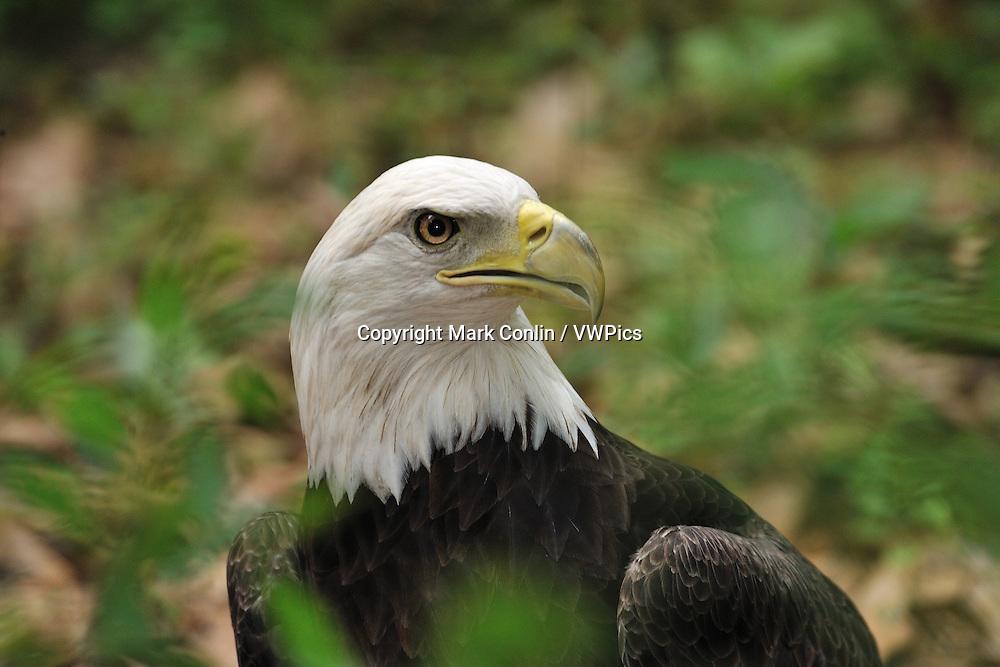 Bald Eagle, Haliaeetus leucocephalus, Florida, captive
