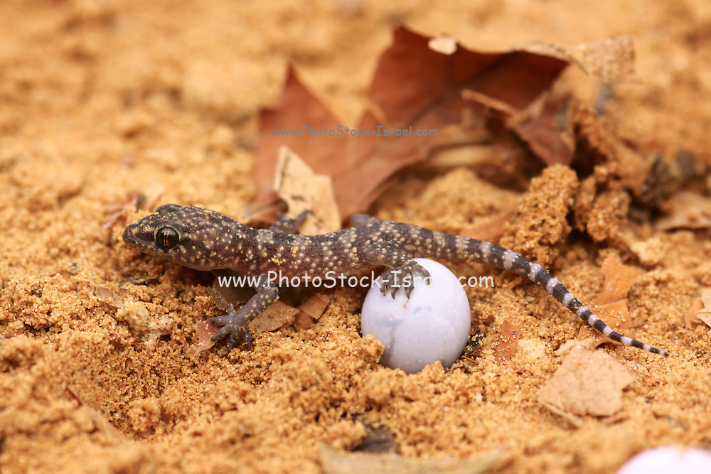 Gecko hatches from its egg