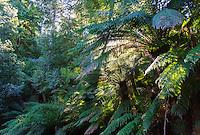 Tree Ferns (Dicksonia antarctica) in a temperate rainforest, Tasmania, Australia