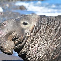 Elephant de mer, Mirounga