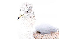 Norway, Stavanger. Young Common Gull.
