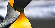 King penguin feather detail, Sandy Bay, Macquarie Island, World Heritage Site