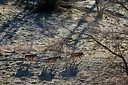 16 Febraury 2017, Civitella Alfedana - A group of wolves in the morning inside the wildlife area of the Apennine Wolf. A fenced area of about four hectares, where for staging points you can observe wolves in a state of semi-freedom.