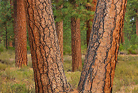 Ponderosa Pines (Pinus ponderosa) Deschutes National Forest Oregon