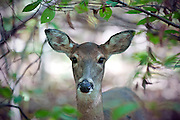 A close up shot of a white tailed deer (Odocoileus virginianus) in the woods.