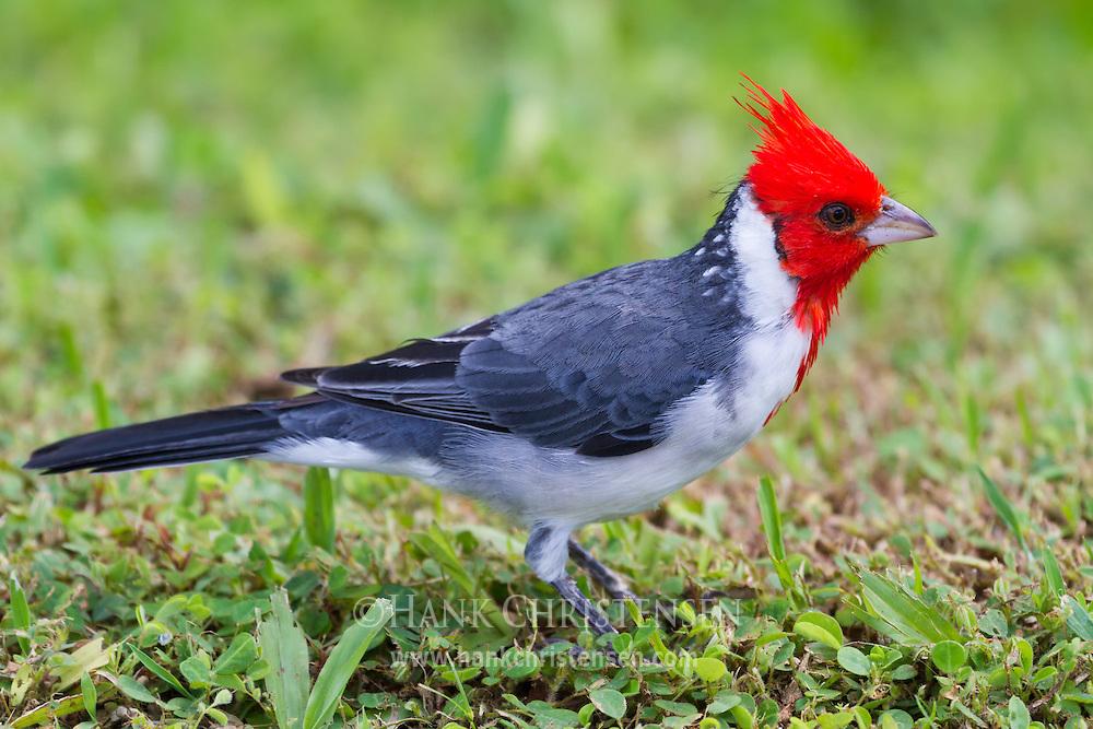 A red-crested cardinal stands in short grass, Kauai, Hawaii.