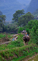 A woman walks her water buffalo in the later afternoon after a hards days work in the field.