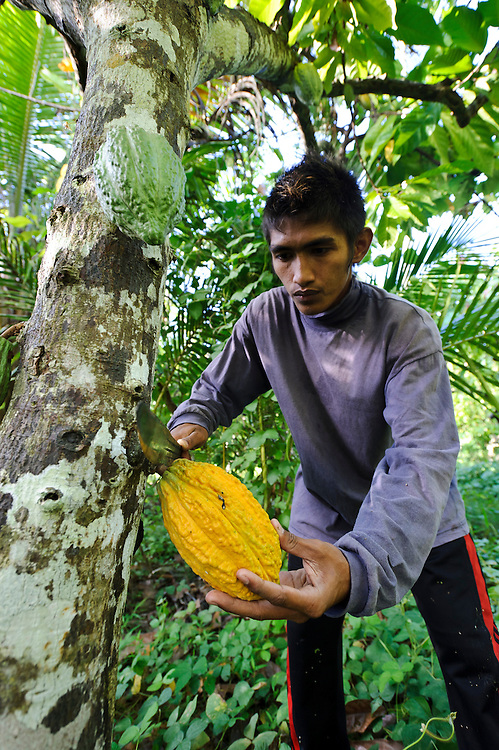 A man harvesting cacao or cocoa pods, Sausu Peore, Central Sulawesi, Sualwesi, Indonesia.