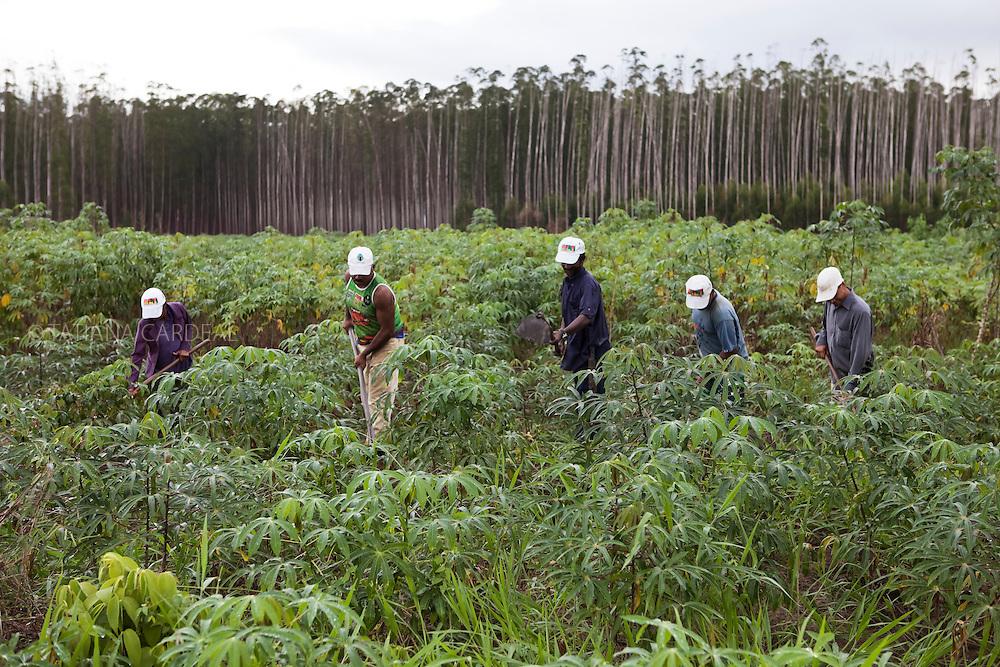 Agricultores sem terra cultivam mandioca nas terras da Empresa Veracel.<br /> Eunápolis, BA - Brasil.<br /> <br /> Landless farmers grow cassava inside  Veracel Company lands.<br /> Eunápolis city, Bahia State - Brazil.