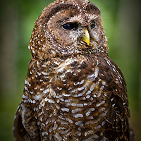 Northern Spotted Owl - Strix occidentalis caurina