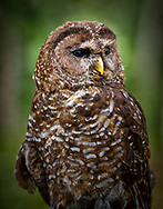 The Northern Spotted Owl (Strix Occidentalis Caurina) is found in the old growth coniferous forests of the Pacific Northwest, North America.
