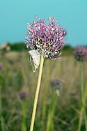 BABINGTON'S LEEK Allium ampeloprasum babingtonii. Has more open heads than Wild Leek.