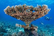 Staghorn coral-Corail corne de cerf (Acropora cervicornis) of Red Sea.