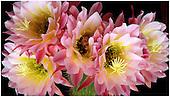 Cactaceae Portfolio V: Echinopsis (South America)