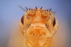 """[Digital focus stacking] Stubble + Drop mutant of the Fruit Fly (Drosophila melanogaster) The mutation is used as a genetic marker. [focus stacking]   Eine doppelt genmanipulierte Taufliege (Drosophila melanogaster), die unter dem Namen """"Mutation Stubble + Mutation Drop"""" im Katalog der Wiener Fliegenbibliothek aufgeführt und bestellbar ist. Die Tiere dieses Stammes zeichnen sich durch stoppelartige Borsten sowie verkleinerte, tropfenförmige Augen aus. Da die Manipulationen am Embryo in Zellen vorgenommen wird, aus denen die Geschlechtszellen des erwachsenen Tieres hervorgehen, sind die hervorgerufenen Eigenschaften erblich. So entstehen ganze nachzüchtbare Stämme von gentechnisch veränderten Taufliegen."""