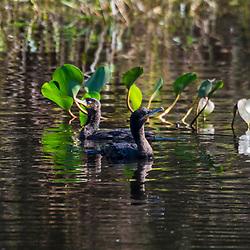 """""""Biguá (Nannopterum brasilianus) fotografado em Corumbá, Mato Grosso do Sul. Bioma Pantanal. Registro feito em 2017.<br /> <br /> <br /> <br /> ENGLISH: Neotropic Cormorant<br />  photographed in Corumbá, Mato Grosso do Sul. Pantanal Biome. Picture made in 2017."""""""