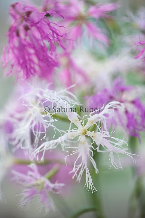 Dianthus plumarius 'Rainbow Loveliness' mix - pink
