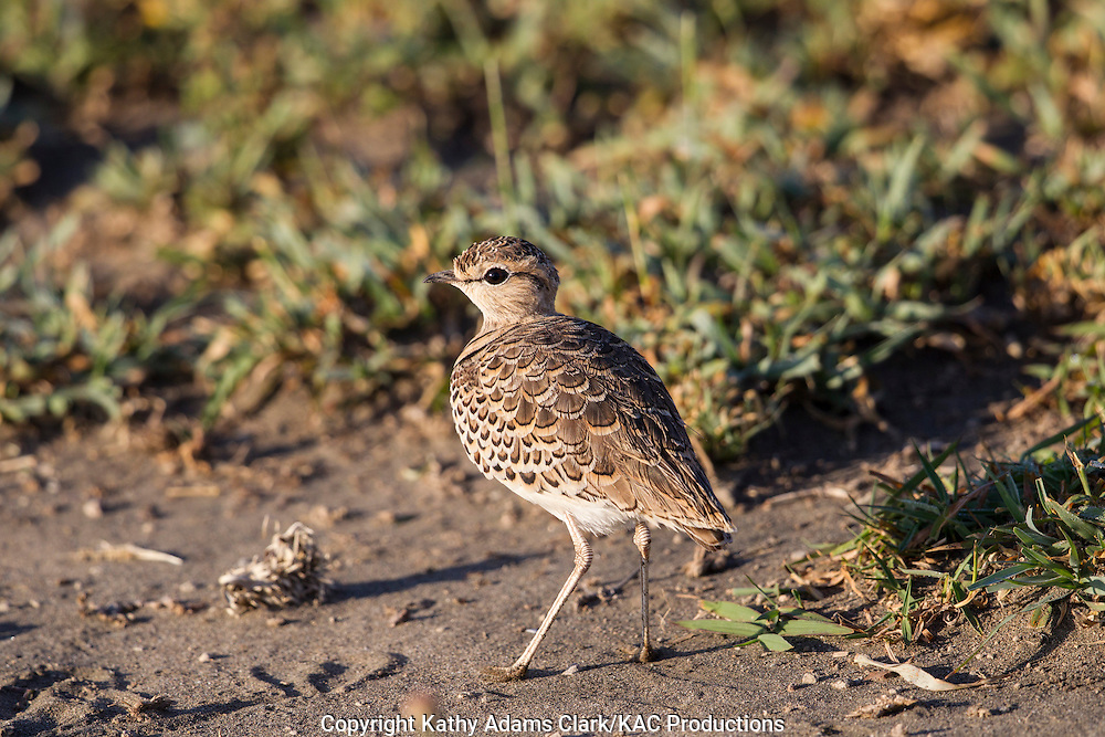 Two-banded courser,Rhinoptilus africanus, near Ndutu, in the Ngorongoro Conservation Area, Tanzania, Africa.