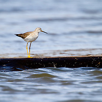 The Greater Yellowlegs is a common, tall, long-legged shorebird of freshwater ponds and tidal marshes, the Greater Yellowlegs frequently announces its presence by its piercing alarm calls.