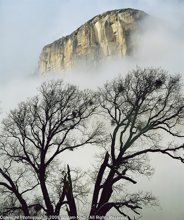 Black oak and El Capitan, Yosemite National Park, California  1982