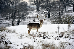 © Licensed to London News Pictures. 21/01/2013.Snowy weather at Knole Park in Sevenoaks,. Kent.  Today (21.01.2013). Photo credit : Grant Falvey/LNP