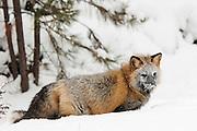 USA, Kalispell (MT).Cross fox (Vulpes vulpes) (C)