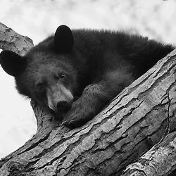 A black bear looks down from the treetops.