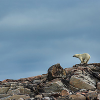 Canada, Nunavut Territory, Repulse Bay, Polar Bear (Ursus maritimus) walking along hillside above Hudson Bay near Arctic Circle