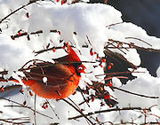 A male cardinal enjoys a berry on a snow covered burning bush in Saukville, Wis., Wednesday, Dec, 15, 2010. Temperatures remained in single digits.  (AP Photo/Jeffrey Phelps)