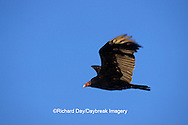 00780-00606 Turkey Vulture (Cathartes aura) in flight Marion Co.   IL