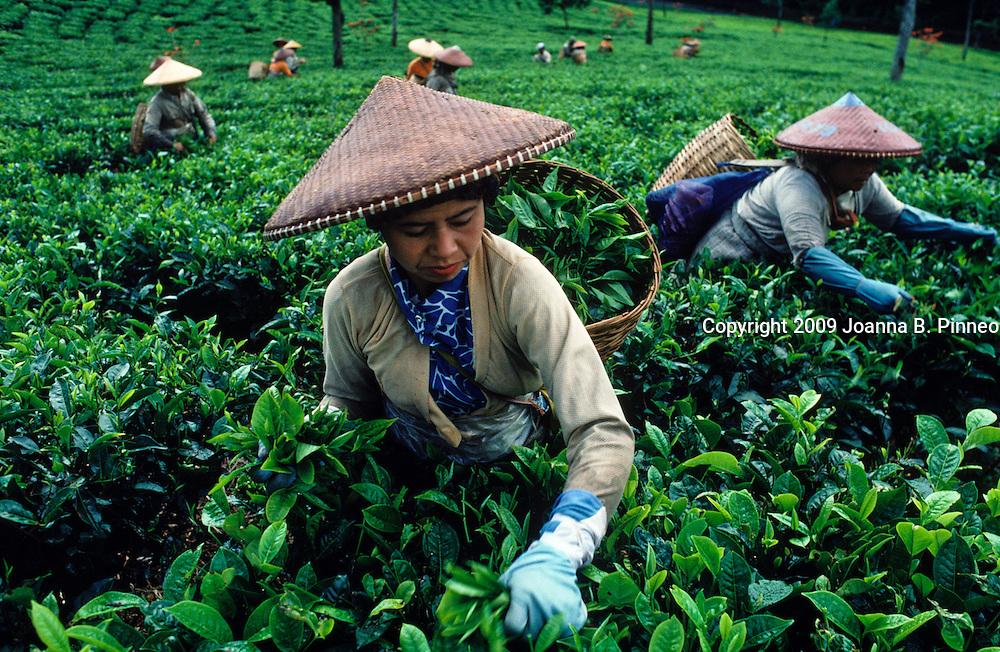 Indonesia tea plantations.