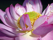 Close up of a pink lotus flower.<br />