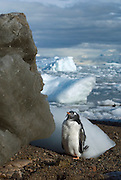 Gentoo chick standing on the beach with black and white ice in the background. .