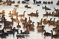 00748-05508 Canada Geese (Branta canadensis) flock on frozen lake,  Marion Co, IL