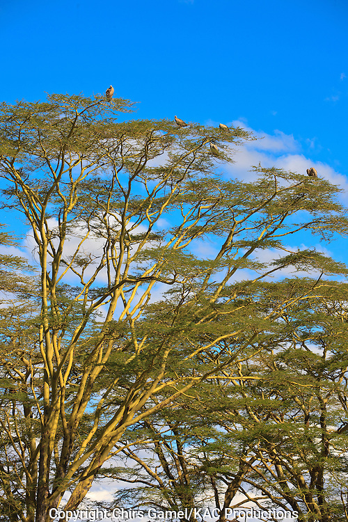 Flock of White-backed Vultures (Gyps africanus) perched on top of a yellow barked acacia tree, Serengeti National Park, Tanzania Africa; near threatened species; old world vulture; scavenger; social species; dry season