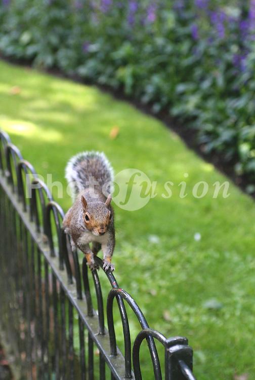 Grey squirrel London UK