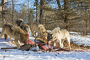 A pack of gray wolves feed on a large buck carcass in wooded winter habitat. Captive pack.