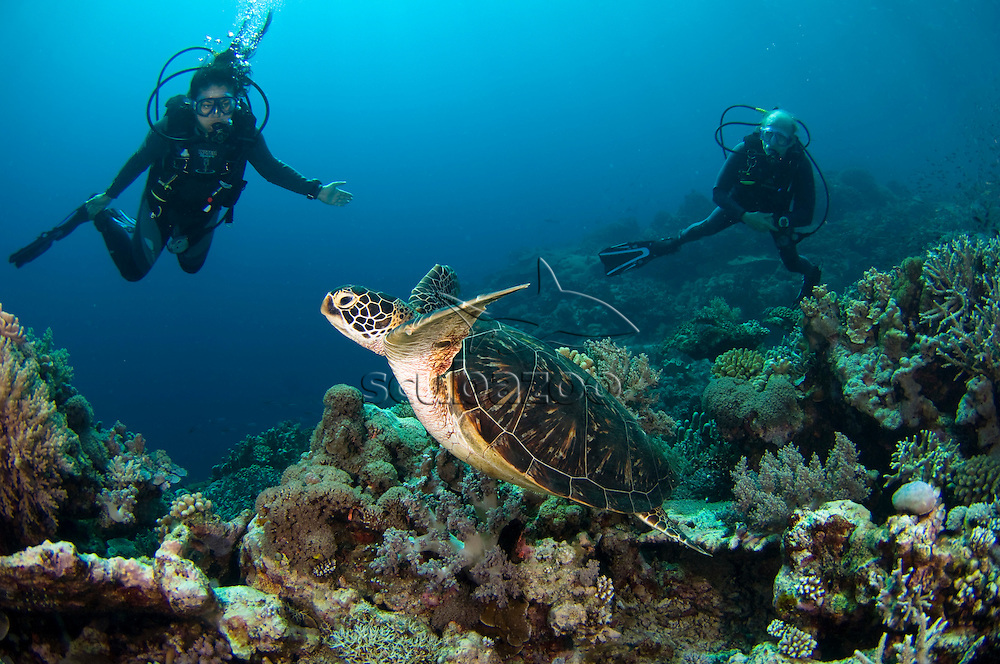 Divers watching a Green Sea Turtle, Chelonia mydas, swimming over coral reef, Layang Layang, Sabah, Malaysia, Borneo