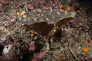 Cymbastela tricalycuiformis