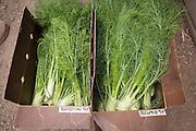 Perfection and Preludio fennel