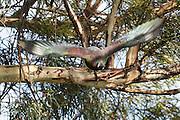 A NZ Wood Pigeon in flight, Stewart Island